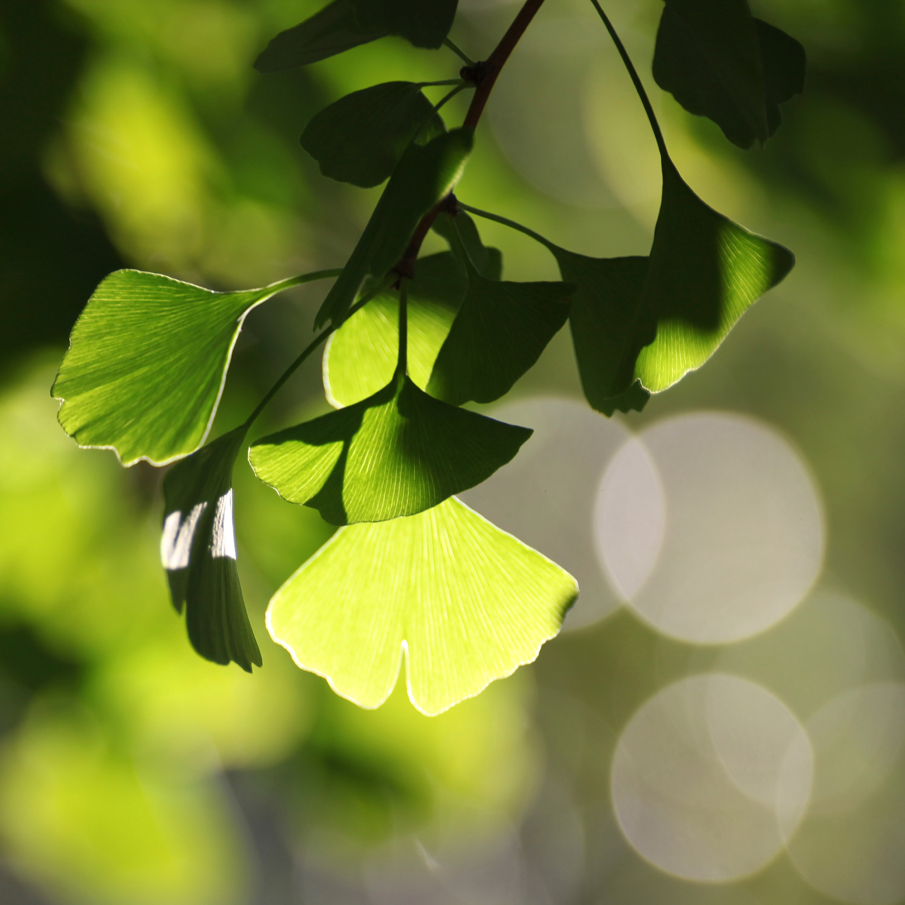 light-leaf