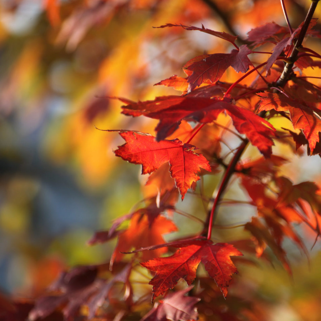 rainbow-maple